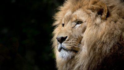 4k, Animal, Black, Hd, Lion
