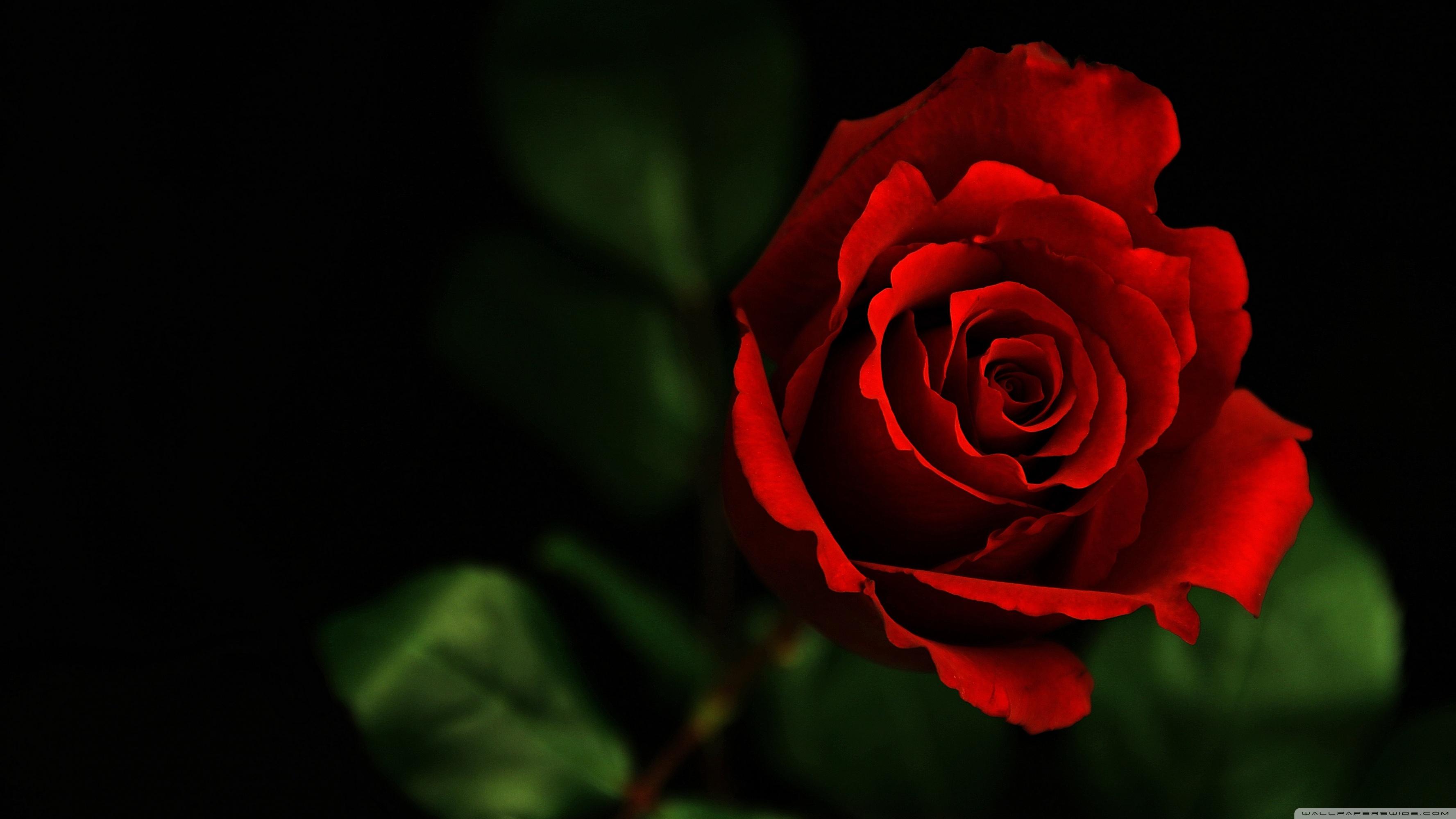 Rose Widescreen