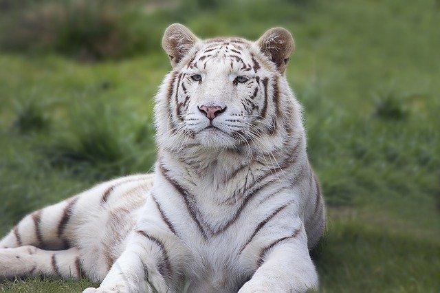 White Tiger Background