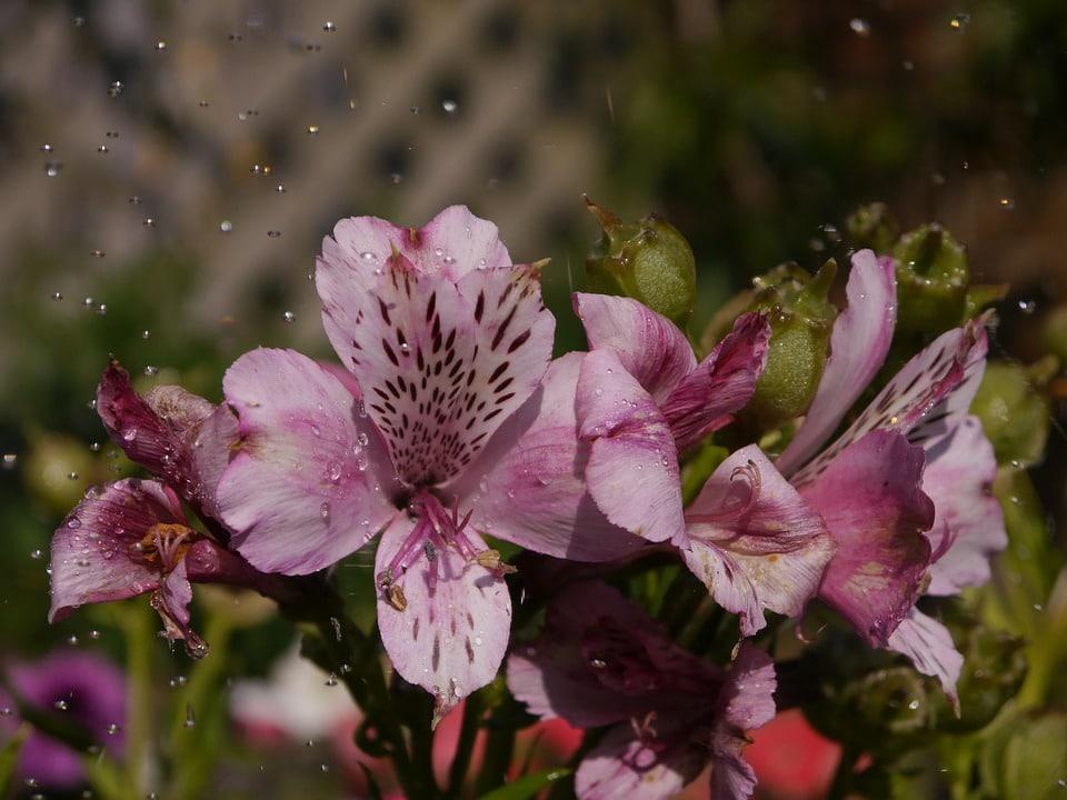 Flower, Hd, Natural, Pink