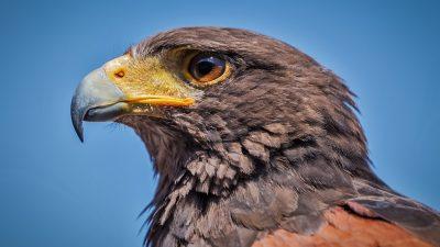 Close Up, Hawk, Hd, Picture