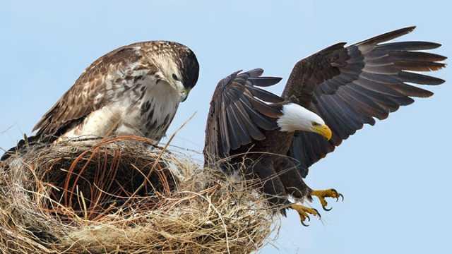Hawks, Hd, Nest, Wallpaper