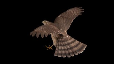 Background, Bird, Black, Hawk, Hd