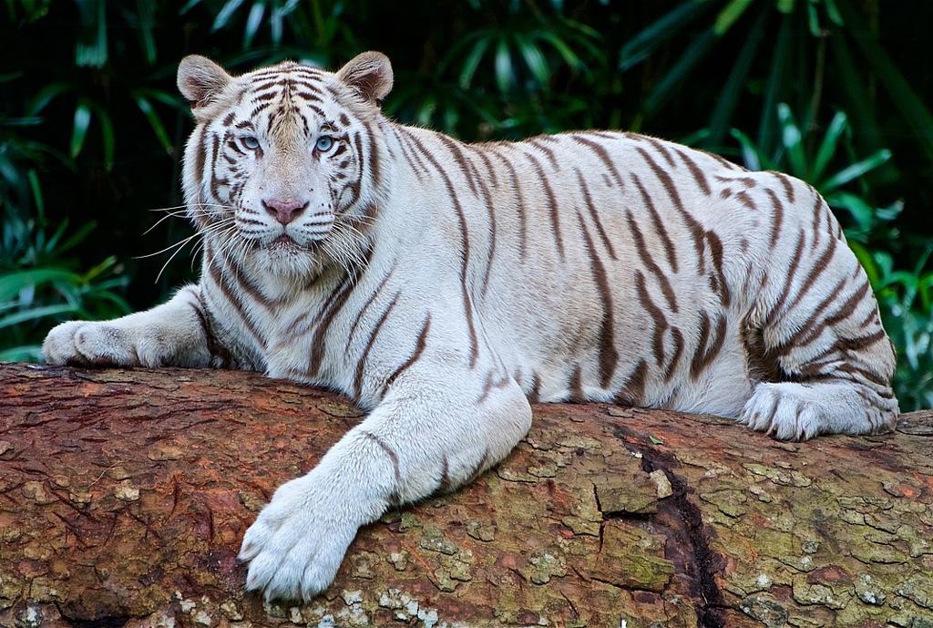 Hd, Sitting, Tiger, Wallpaper, White