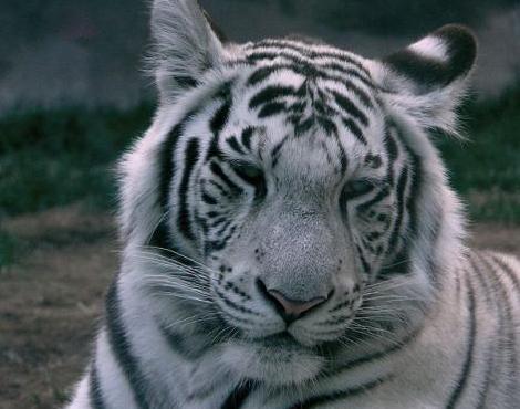 White Tiger Picture