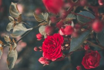 Close Up, Hd, Red, Rose, Roses