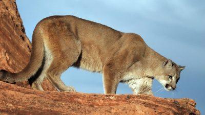 Animal, Big, Hd, Lion, Mountain