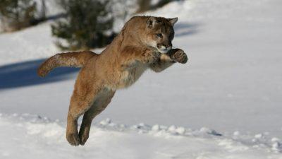 Animal, Jumping, Lion, Mountain