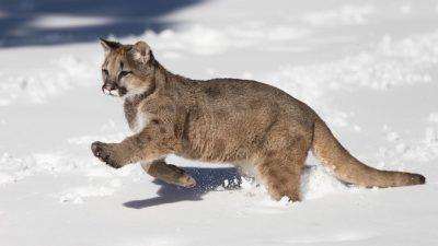 Best, Hd, Lion, Mountain, Snow