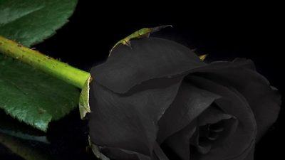 Beautiful, Black, Image, Natural, Rose