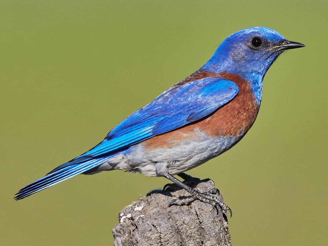 Blue Bird image