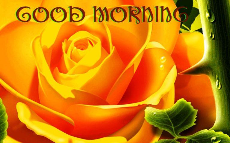 Cool, Good, Morning, Photo, Rose, Yellow