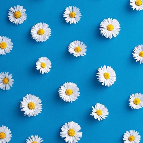 Daisy Background Blue Daisy Background Flower Hd White