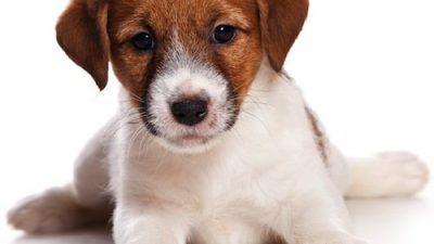 Background, Brown, Puppy, White