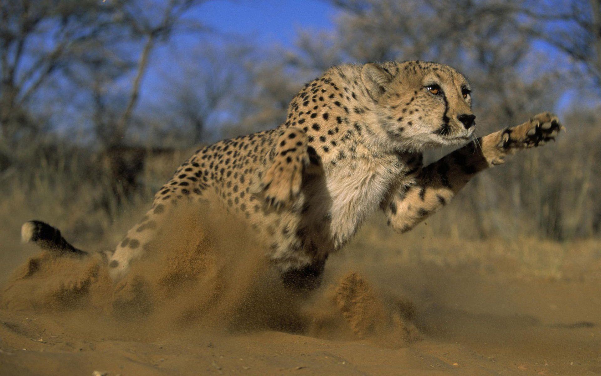 Cheetah, Hd, Image, Jumping