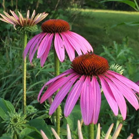 Beautiful, Coneflower, Grass, Green, Image, Natural