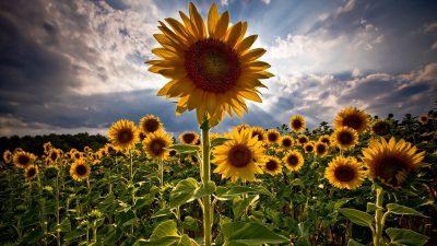 Beautiful, Hd, Image, Natural, Sunflower