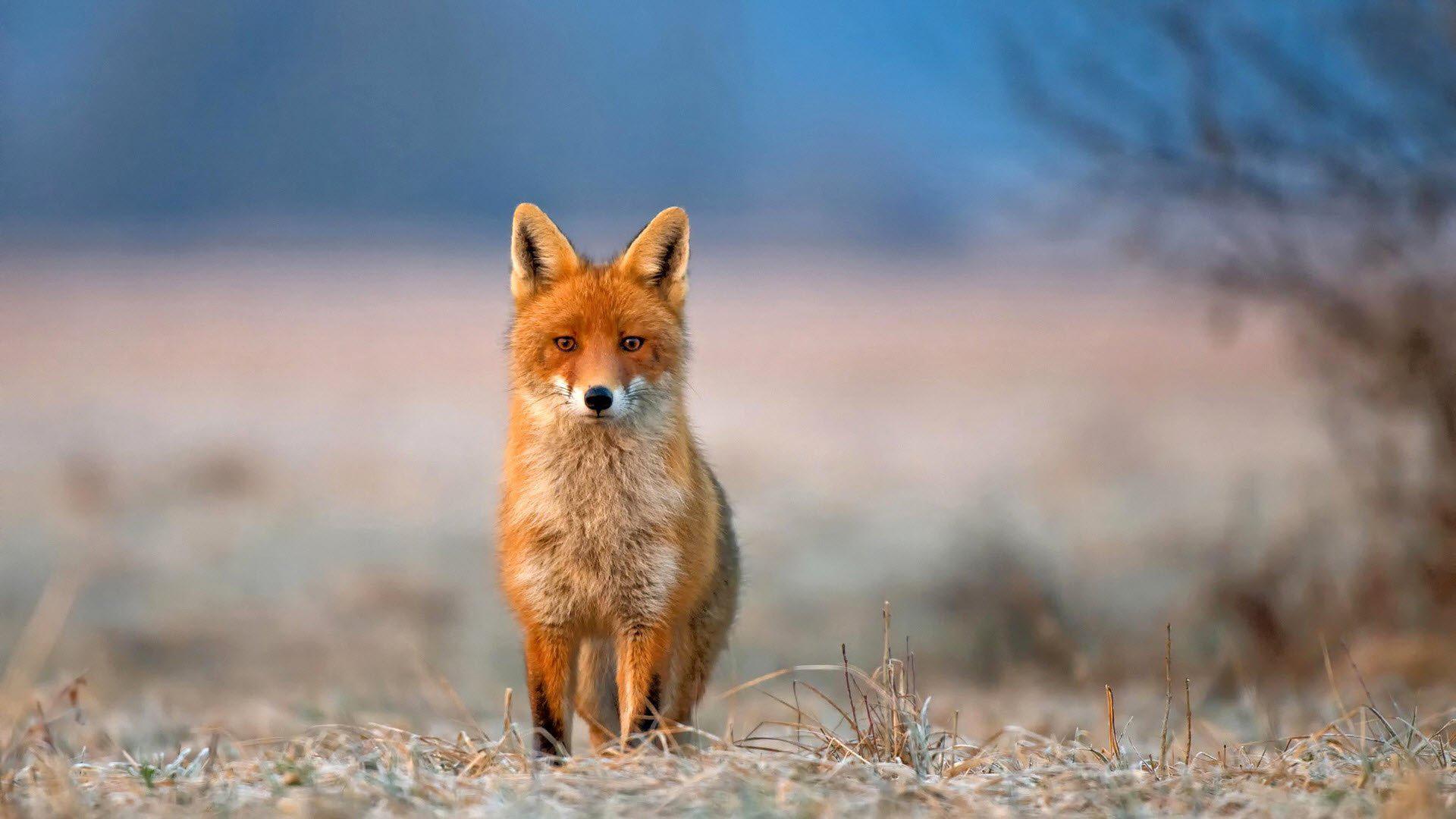 Animal, Background, Beautiful, Fox