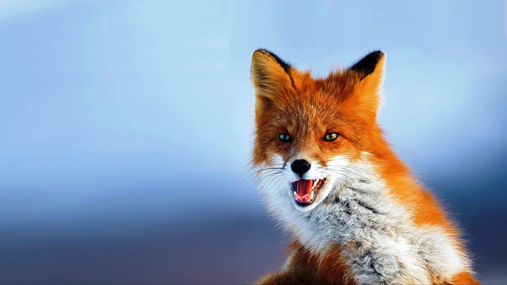 Animal, Best, Desktop, Fox, Picture