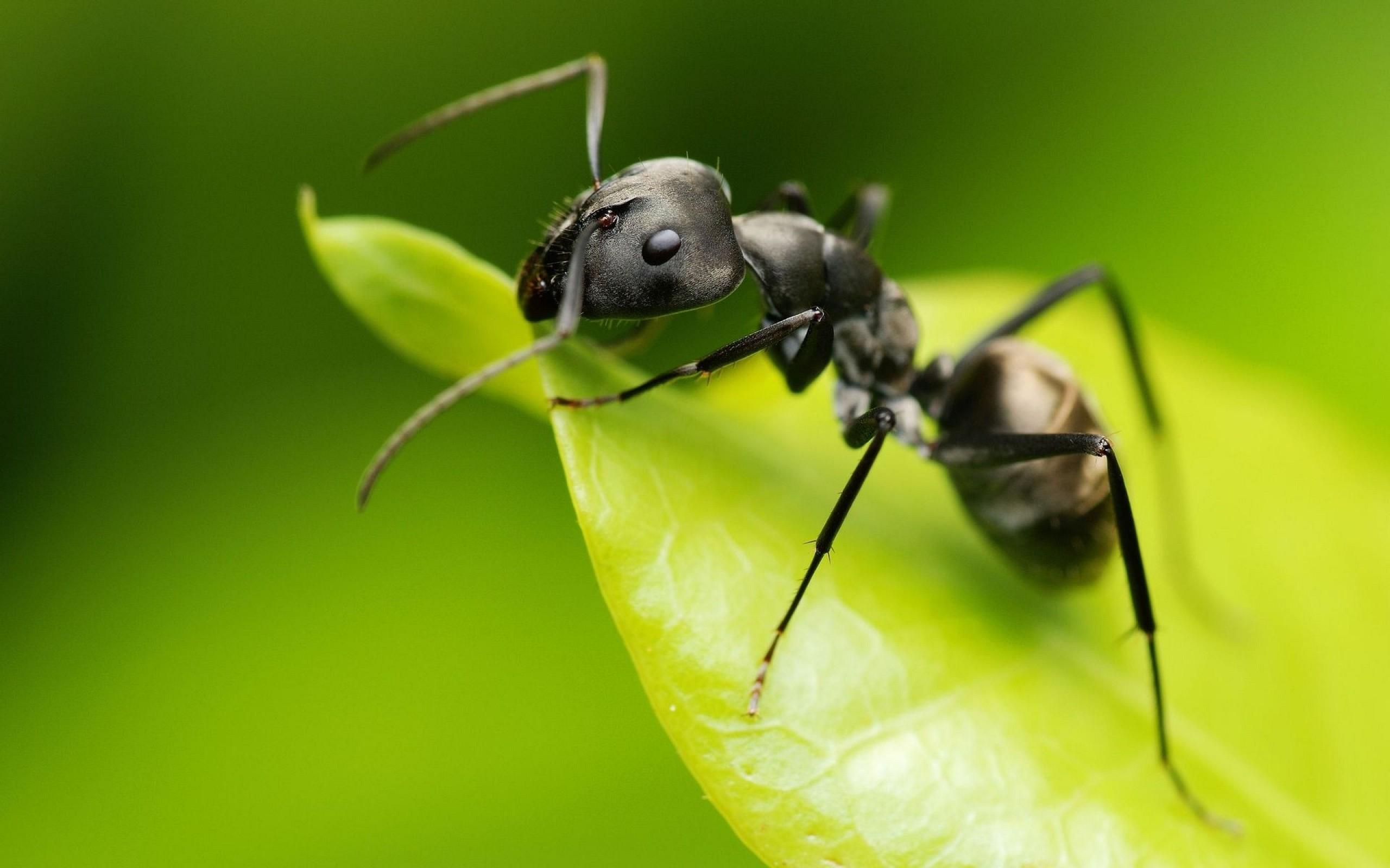 Ant, Awesome, Black, Image