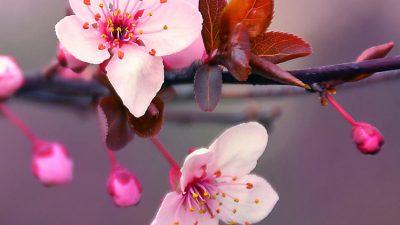 Beautiful, Blossom, Cherry, Image, Nature, Pink