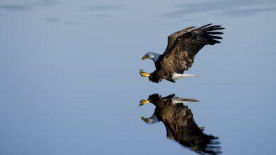 Background, Bird, Eagle, Flying, Natural, Top