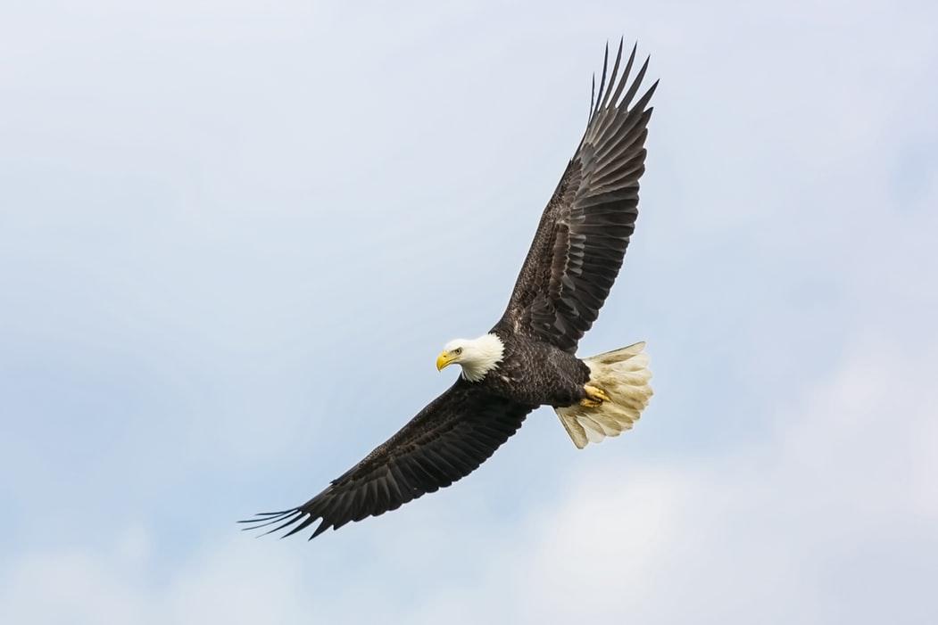Flying Eagle Wallpaper