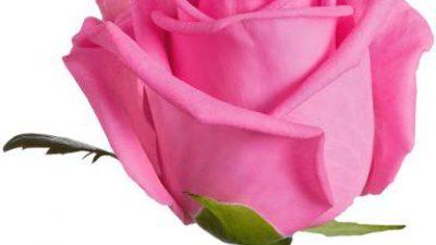 Hd, Nature, Pink, Rose, Wallpaper
