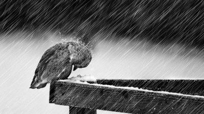 Beautiful, Bird, Grayscale, Rain, Wallpaper