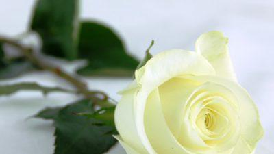 Image, Natural, Rose, White