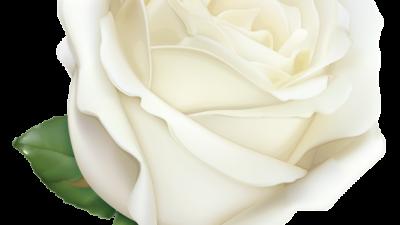 Large, Natural, Rose, Wallpaper, White