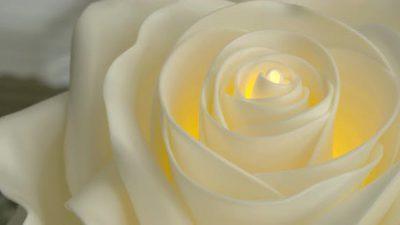 Beautiful, Image, Natural, Rose, White