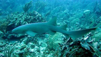 Beautiful, Best, Shark, Wallpaper