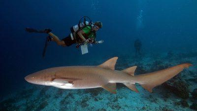 Female, Large, Pregnant, Shark, Wallpaper