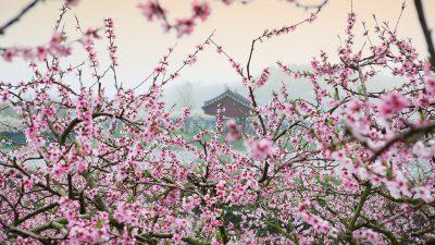 Flower, Natural, Pink, Wallpaper