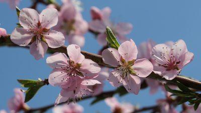 Blossom, Natural, Peach, Wallpaper