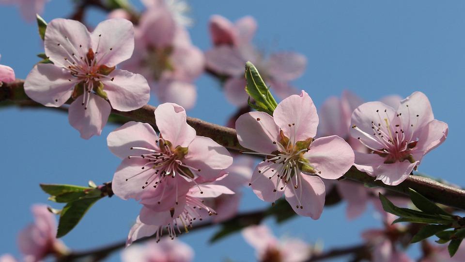 Peach Flower Photo