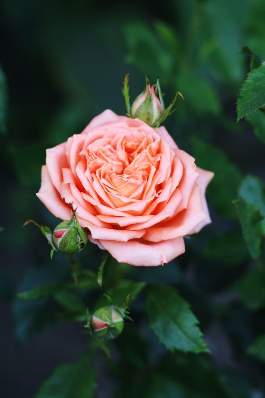 Pink Rose Backgrounds