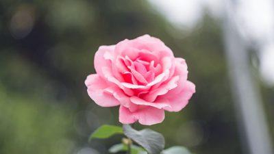 Awesome, Desktop, Image, Natural, Pink, Rose