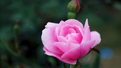 Background, Green, Pink, Rose, Widescreen