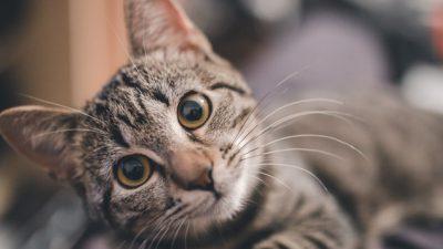 Beautiful, Brow, Cat, Eyes, Wallpaper