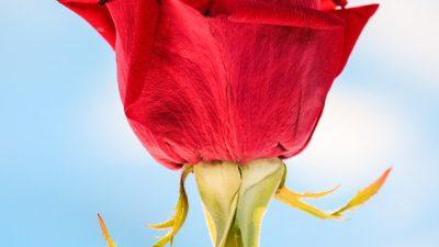 Desktop, Flower, Picture, Red, Single