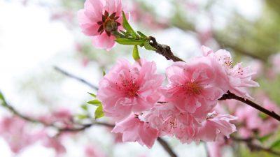 Flower, Image, Landscape, Nature, Pink