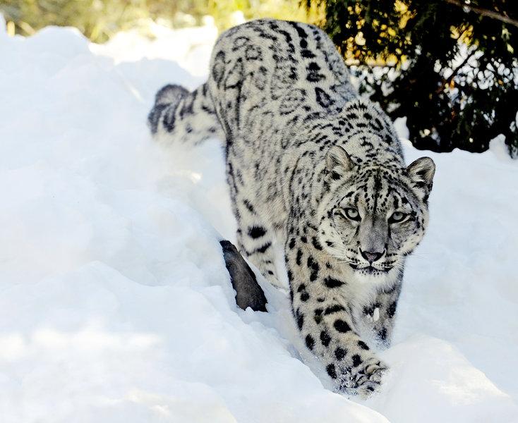 Snow Leopard Backgrounds