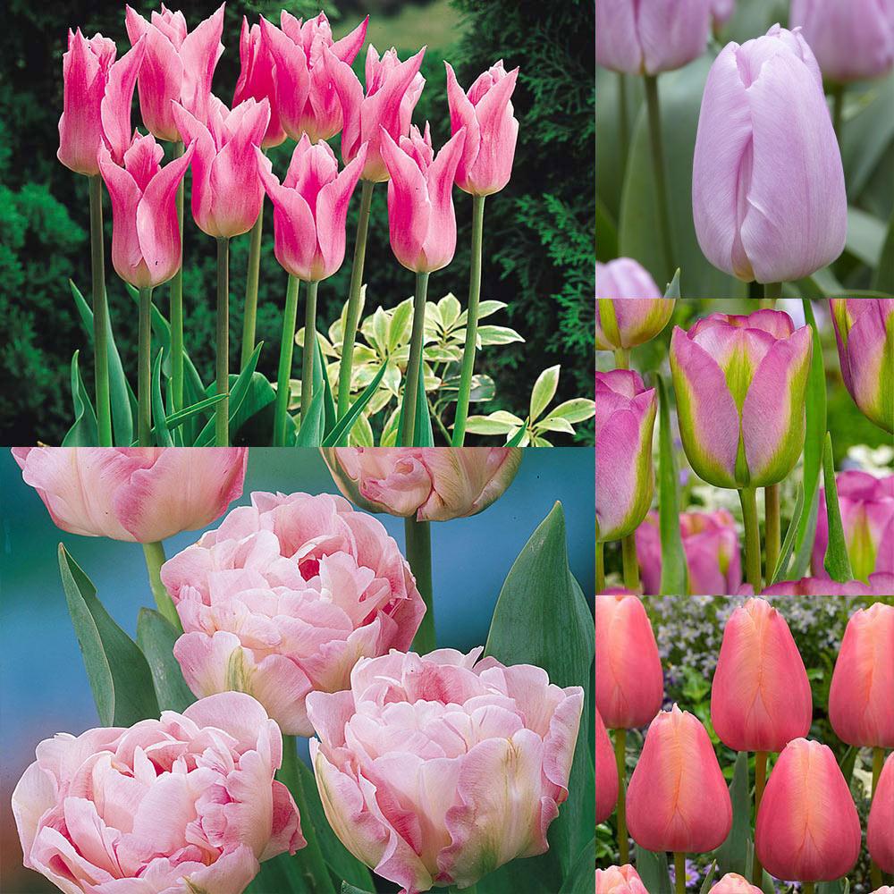 Pink Tulip Image