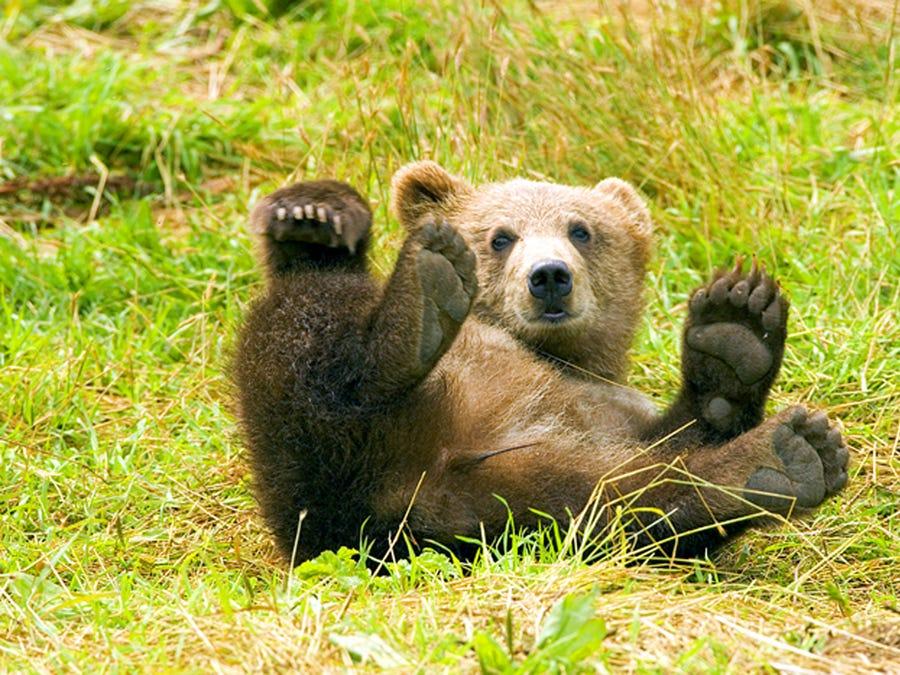 Baby Bear Image