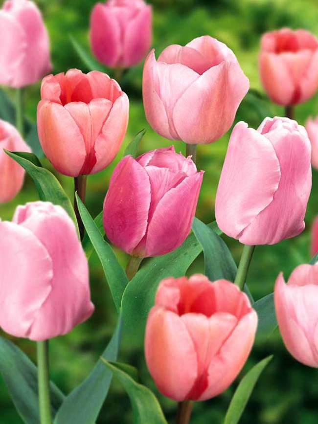 Pink Tulip Wallpapers