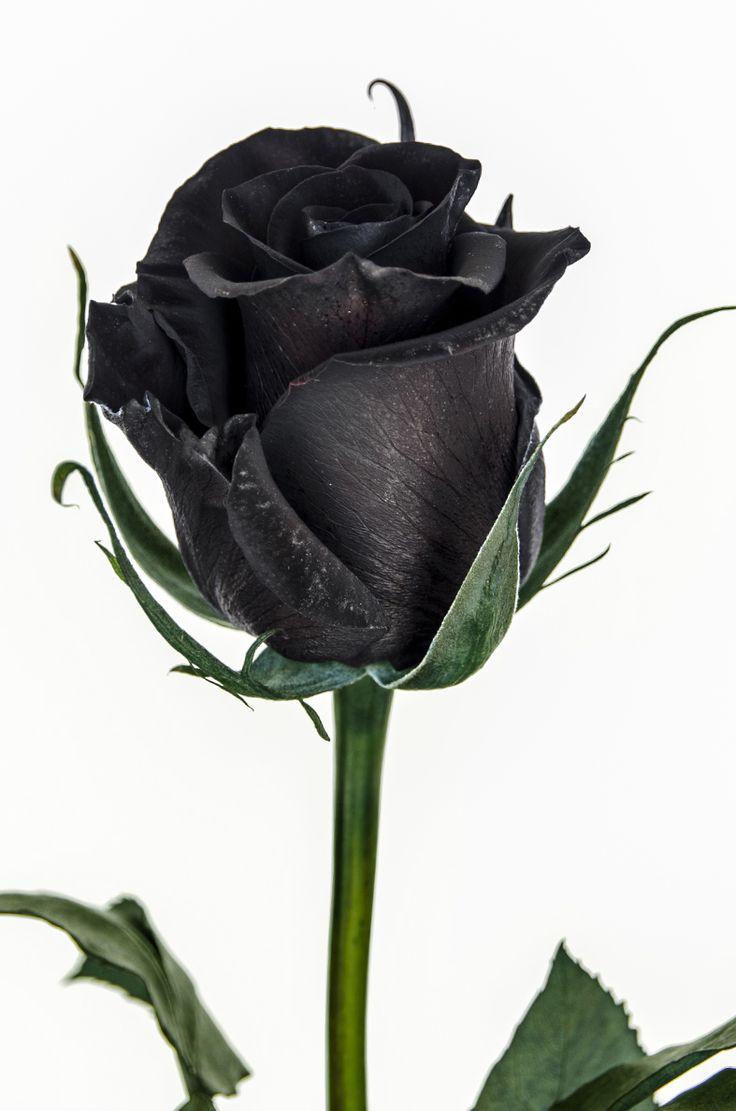 Black Rose Image