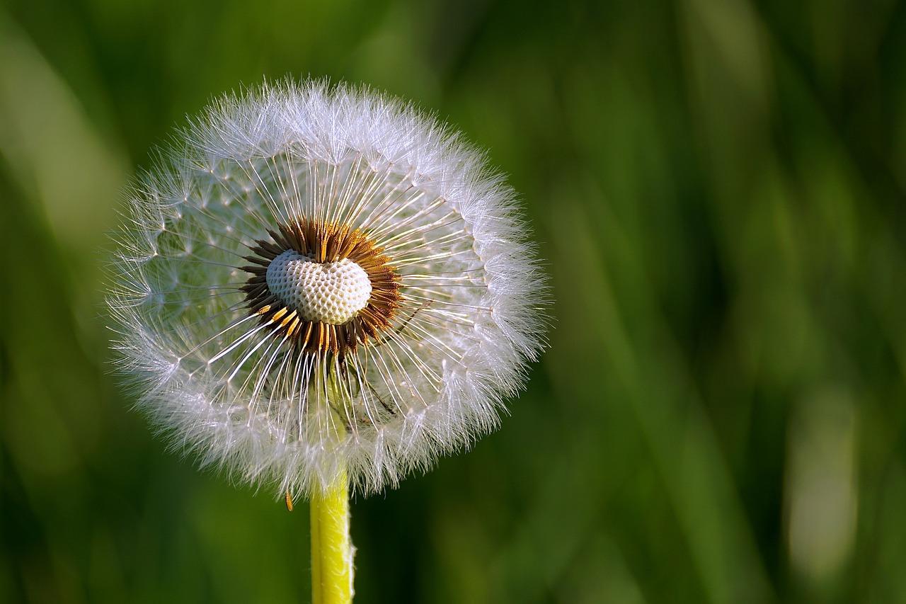 Dandelion Flower Image