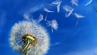 Background, Blue, Dandelion, Flower, Widescreen